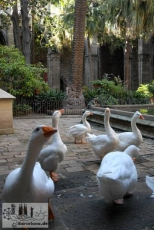 The geese are in the cloister as guards